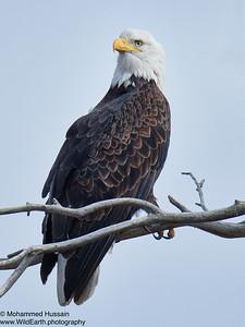 Bald Eagle ~ Rocky Mountain Arsenal National Wildlife Refuge, CO
