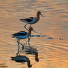American Avocet - Walden Ponds Wildlife Habitat.