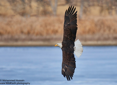 Bald Eagle in flight-Rocky Mountain Arsenal Wildlife Refuge, Commerce City, CO