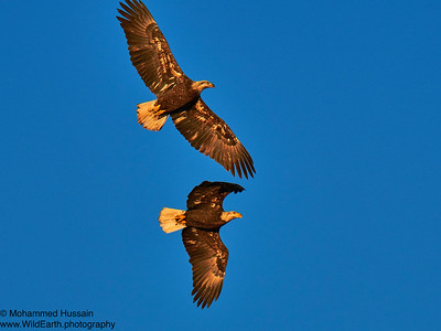 Bald Eagles, Rocky Mountain Arsenal Wildlife Refuge, CO