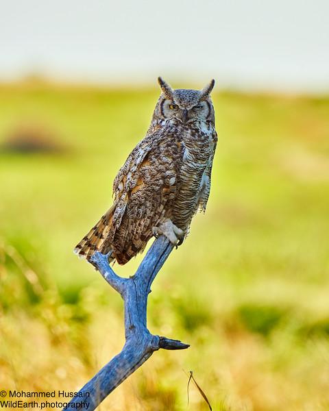 Great Horned Owl - Rocky Mountain Arsenal National Wildlife Refuge, CO