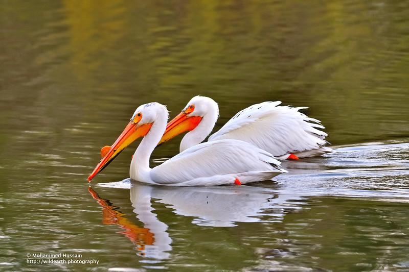 American White Pelicans  - Colorado