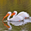 American White Pelicans  - Colorado