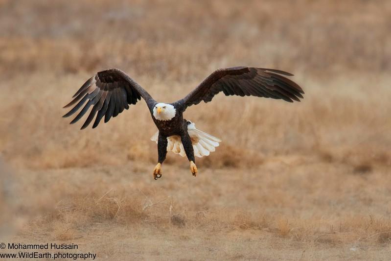 Soaring High....Rocky Mountain Arsenal National Wildlife Refuge, CO