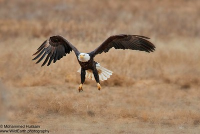 Soaring High....Rocky Mountain Arsenal National Wildlife Refuge, CO