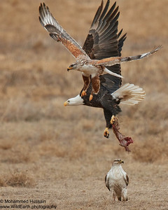 Food fight between Ferruginous Hawks and Bald Eagle