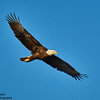 Bald Eagle - Rocky Mountain Arsenal National Wildlife Refuge, CO