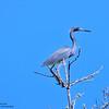 Tricolored Heron ~ Venice Rookery, Venice, FL