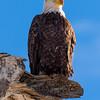 Bald Eagle - Rocky Mountain Arsenal National Wildlife Refuge, CO
