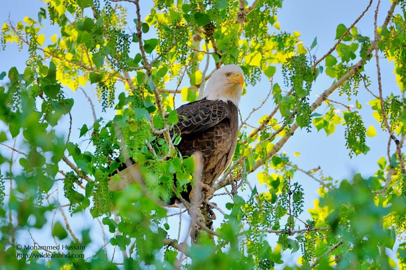 Bald Eagle  (Adult Female) ~ Colorado