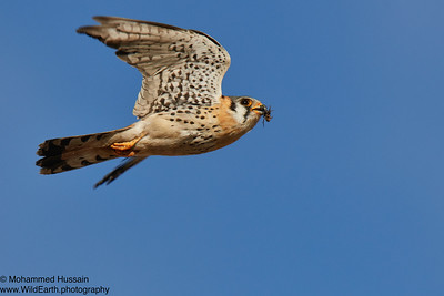 American Kestrel - Rocky Mountain Arsenal National Wildlife Refuge, CO
