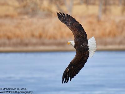 Bald Eagle in flight-Rocky Mountain Arsenal Wildlife Refuge, Commerce City, CO