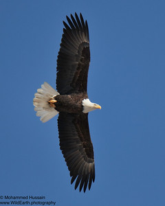 Bald Eagle - Rocky Mountain Arsenal Wildlife Refuge, CO