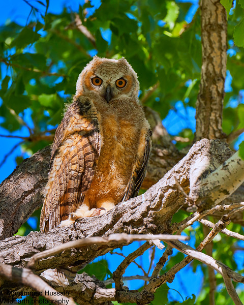 Great Horned Baby Owl