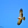 Swainson's Hawk with Pray- Rocky Mountain Arsenal National Wildlife Refuge, CO