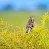 Western Meadowlark Rocky ~Mountain Arsenal National Wildlife Refuge Commerce City, CO