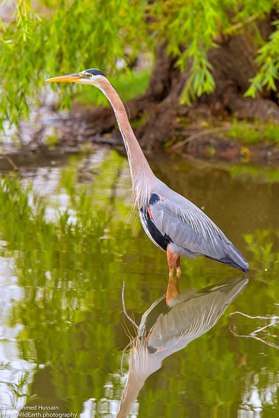 Blue Heron - Colorado