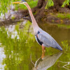 Blue Heron - Colorado