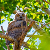 Great Horned Owl (Baby) ~ Rocky Mountain Arsenal National Wildlife Refuge Commerce City, CO