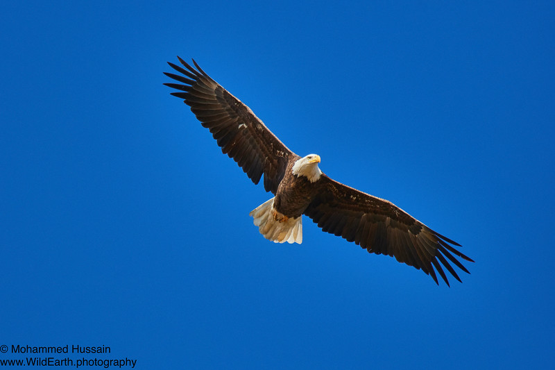 Soaring High Over Colorado Sky- Rocky Mountain Arsenal National Wildlife Refuge, CO