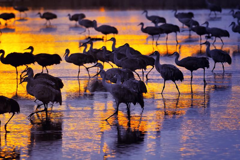 Golden Light Symphony by Sandhill Cranes - Bosque Del Apache National WIldlife Refuge. Rio Grande Valley in  Socorro County, New Mexico.
