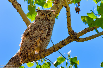 Great Horned Owl (Mother) ~ Rocky Mountain Arsenal National Wildlife Refuge Commerce City, CO