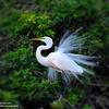 Great White Egret in Breading Plumage ~ Venice, Florida.