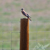 Colorado post...American Kestrel