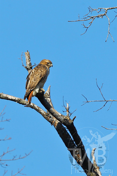 a Red-Tail Hawk in Forest Park