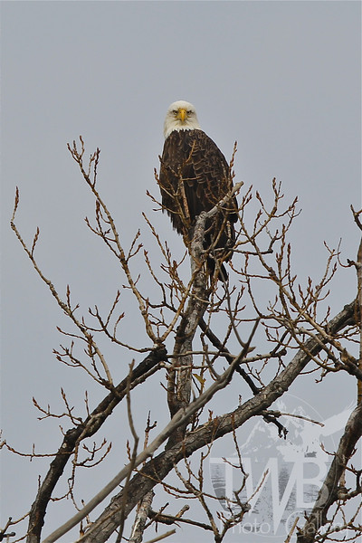""""""" Yes ??? """" , the intense glare of a Bald Eagle"""