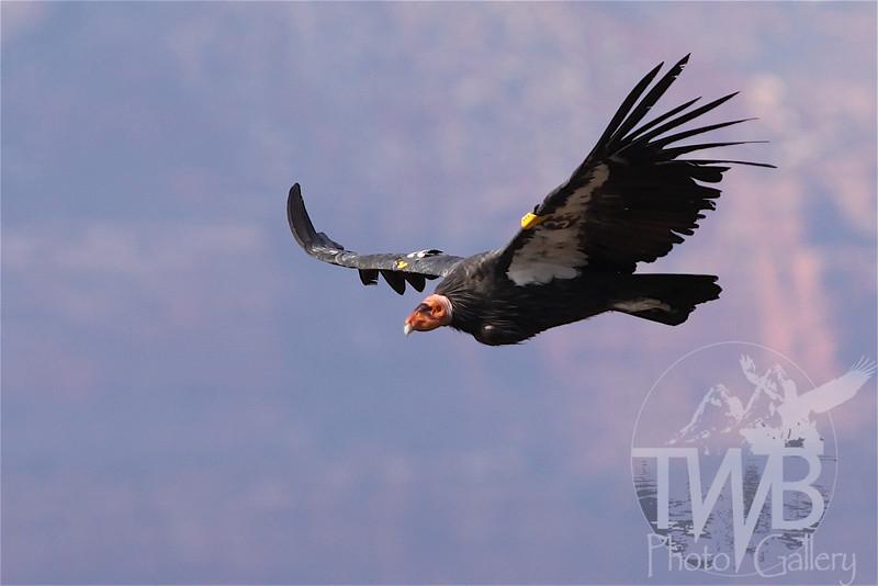Female California Condor soars over the Grand Canyon.