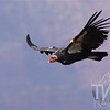 Female California Condor soars over the Grand Canyon.