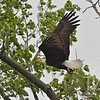 a majestic male Bald Eagle over the tree tops in Annada, Mo.