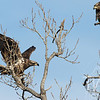 Intruder on the tree, two immature Bald Eagles.