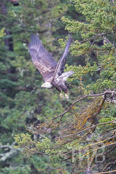 Many Glacier viewing a Bald Eagle