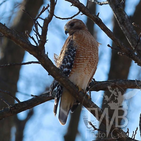 Red-shouldered Hawk in Queeny Park