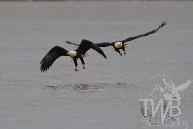 Bald Eagles on a feeder stream of the Mississippi River just south of Louisiana, Missouri.