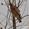 Red-shouldered Hawk at rest