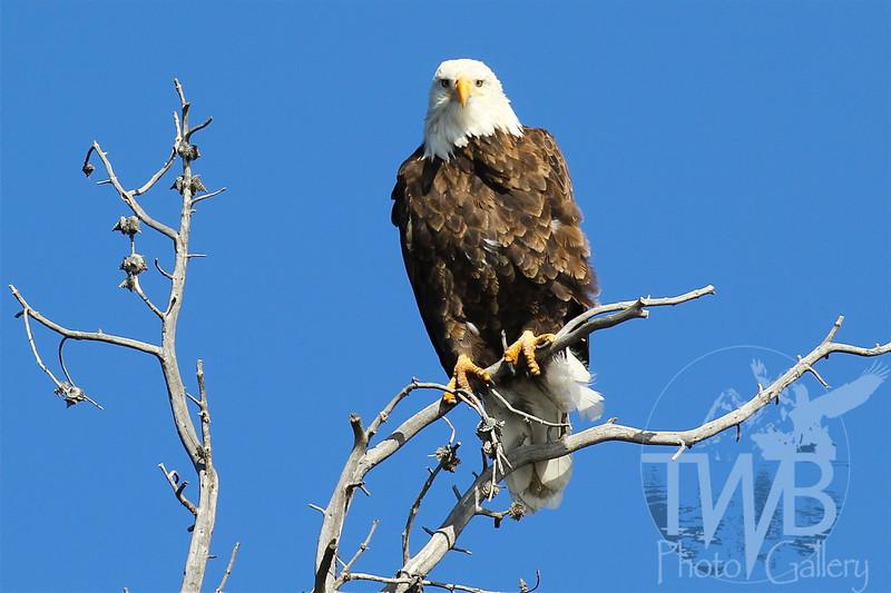 Bald Eagle standling watch over Yellowstone Lake.