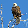 Bald Eagle standling watch over Yellowstone Lake.