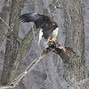 "Bald Eagle enjoying ""sushi"" in the trees of Louisiana, Mo.,near the Mississippi River"
