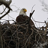 a Bald Eagle nesting in Clarence Canon W.L.R