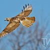 a Ferruginous hawk , soaring in the Kansas plains