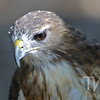 up close to a Red-tailed Hawk