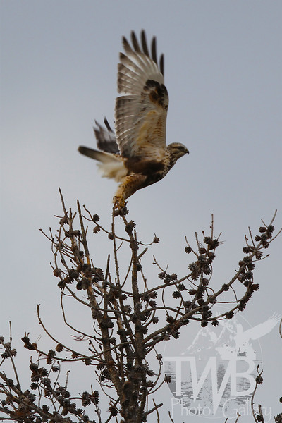 a Prairie Falcon explodes off a conifer in search of food, Tetons