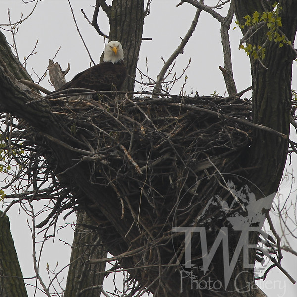 a proud mother and her nest, bald eagle in Clarence Canon W.L.R. ,Mo.