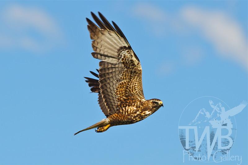 Hawk soars over Antelope Flats, Grand Teton National Park.