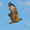 Hawk soars over Antelope Flats, Grand Teton National Park.
