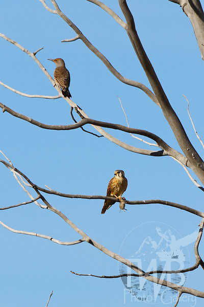 a American Kestrel with meal, as a Northern Flicker eyes the air
