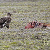 a immature Bald Eagle on a deer carcass